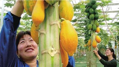批准生产上市的转基因产品只有木瓜、棉花