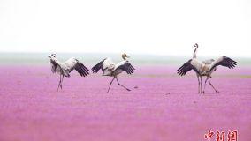 鄱阳湖蓼子花海盛开 越冬候鸟花中觅食起舞