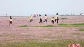 """鄱阳湖枯水现""""蓼子花海"""" 上万市民赏花拥堵两公里"""