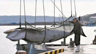 日本重启商业捕鲸,不止为了经济利益