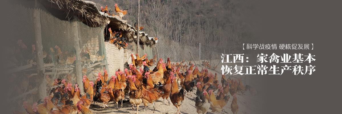 【科學戰疫情 硬核促發展】江西:家禽業基本恢復正常生產秩序