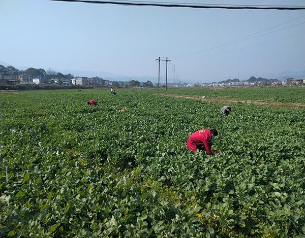 芦溪县南坑镇妙泉村第一书记带领农户(贫困户)采摘富硒菜苔