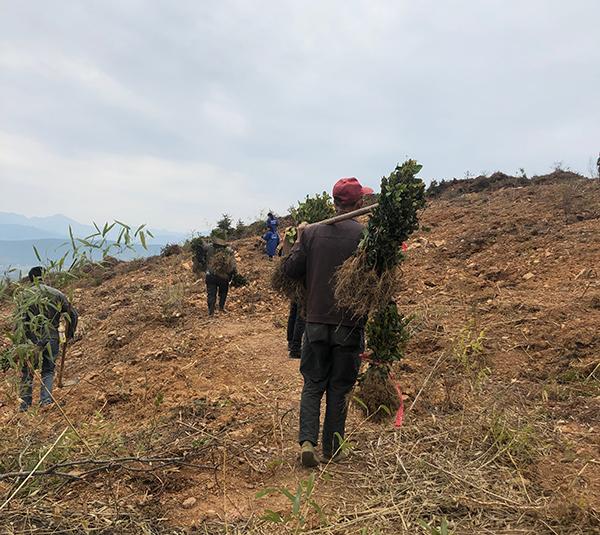 栽种油茶树1