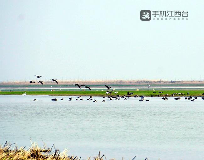 2016年,江西鄱阳湖南矶湿地候鸟竞翔。记者陶望平 摄