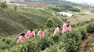 42万人线上直播观看2020靖安白茶开采节