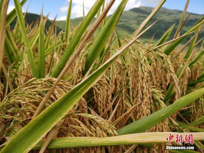 水稻资料图。<a target='_blank' href='http://www.chinanews.com/'>中新社</a>记者 王晓斌 摄