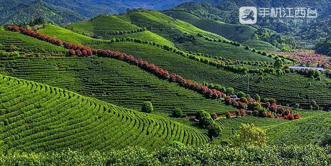 靖安武侠茶业有限公司的茶园,环境优美。