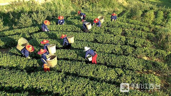 茶农在江西上丰农业位于修水县上奉镇的茶园采摘鲜叶