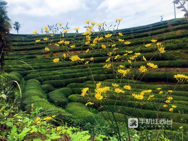 林恩茶业位于浮梁县的茶园环境优美