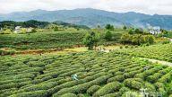 铜鼓:茶产业助脱贫