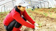 扶贫蔬菜种起来