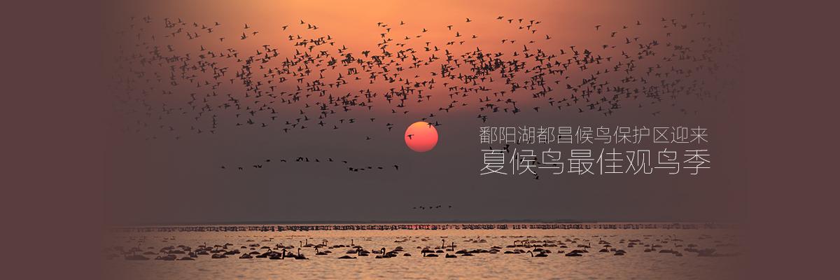 鄱陽湖都昌候鳥保護區迎來夏候鳥最佳觀鳥季