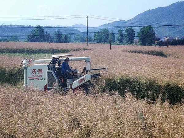 收割机在田间收割油菜
