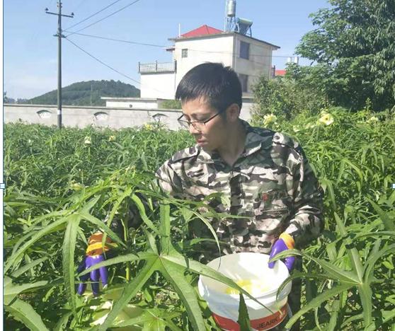 刘珍强在黄蜀葵基地采摘黄蜀葵