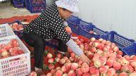 涌泉枫树千亩蜜桃丰产或不丰收 销路不畅急坏贫困户