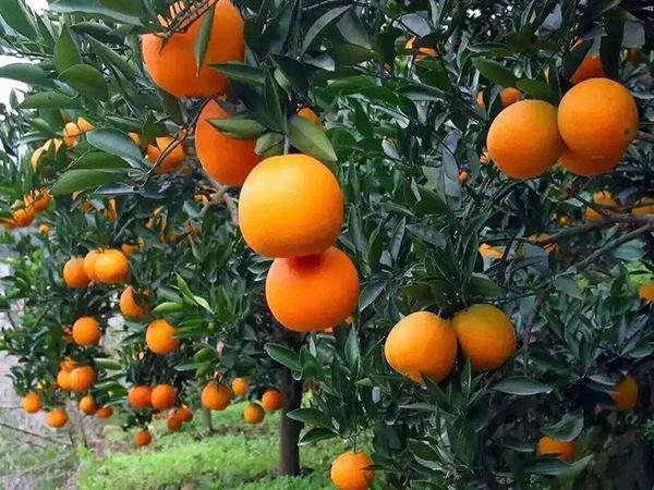 石塘脐橙基地产品