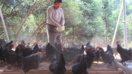 萍乡芦溪:养鸡圆了脱贫梦  携手奋进奔小康