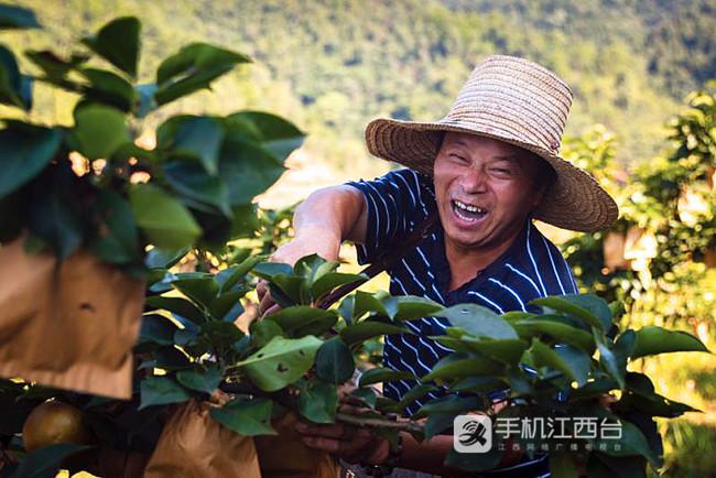 黄金梨成熟后,神泉村贫困户采摘时喜笑颜开。
