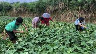 江西横峰:小红薯大产业