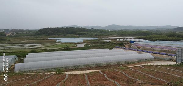 蔡家桥产业园西瓜大棚全景(马回岭镇供图)