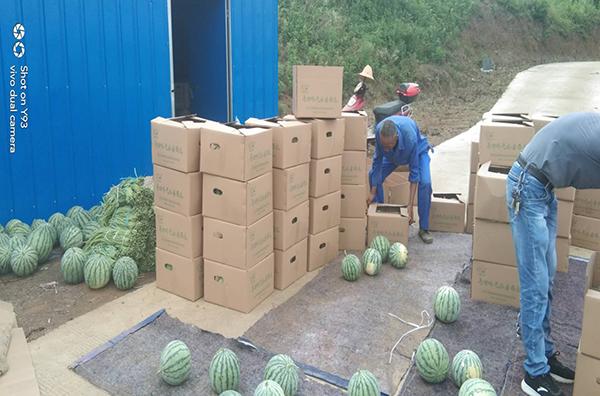 蔡家桥产业园采摘好的西瓜装箱(马回岭镇供图)
