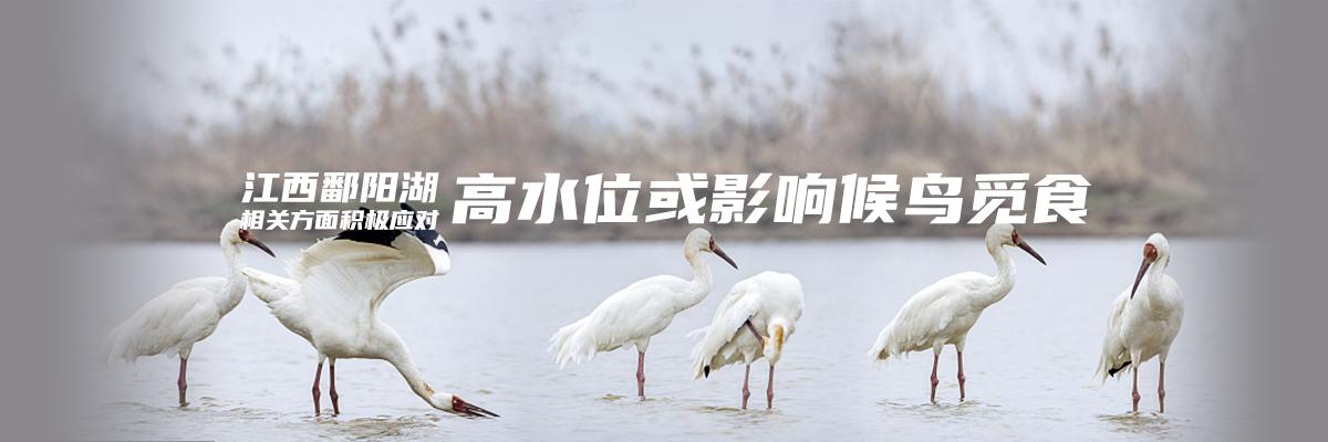 优德w88体育:鄱阳湖高水位或影响候鸟觅食 相关方面积极应对