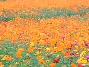 """南昌:象湖""""绿改彩"""" 赏花正当时"""