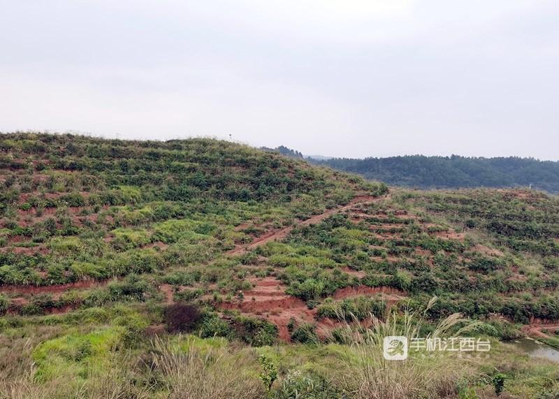 永新县芦溪乡合东村的山坡上种满了果树