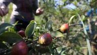 油茶籽丰收助山民增收
