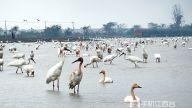 """即将到来!鄱阳湖最佳观鸟期 准备好和白鹤""""藕遇""""了吗?"""