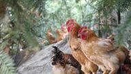 黄长发:身残志坚开启养鸡致富路