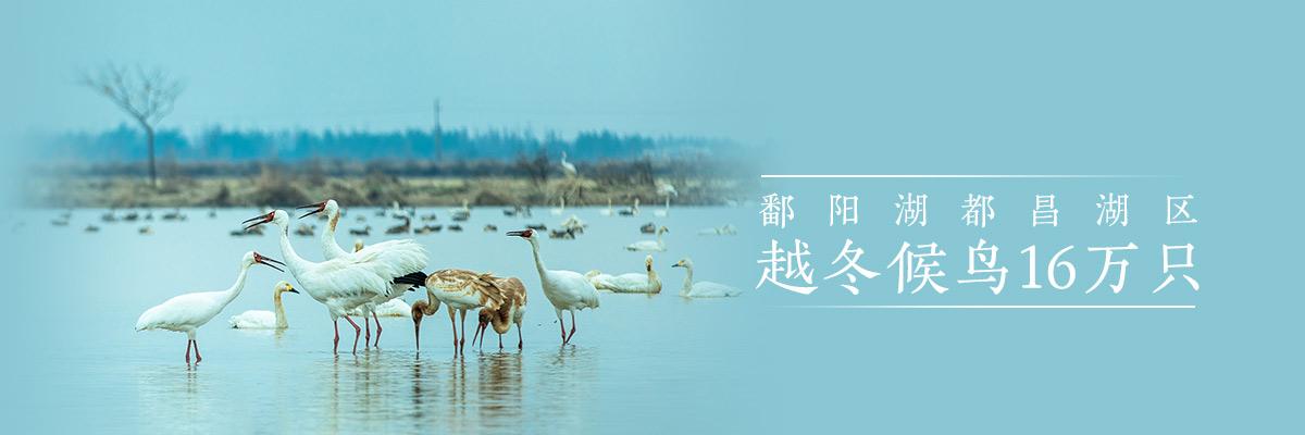 鄱阳湖都昌湖区越冬候鸟16万只