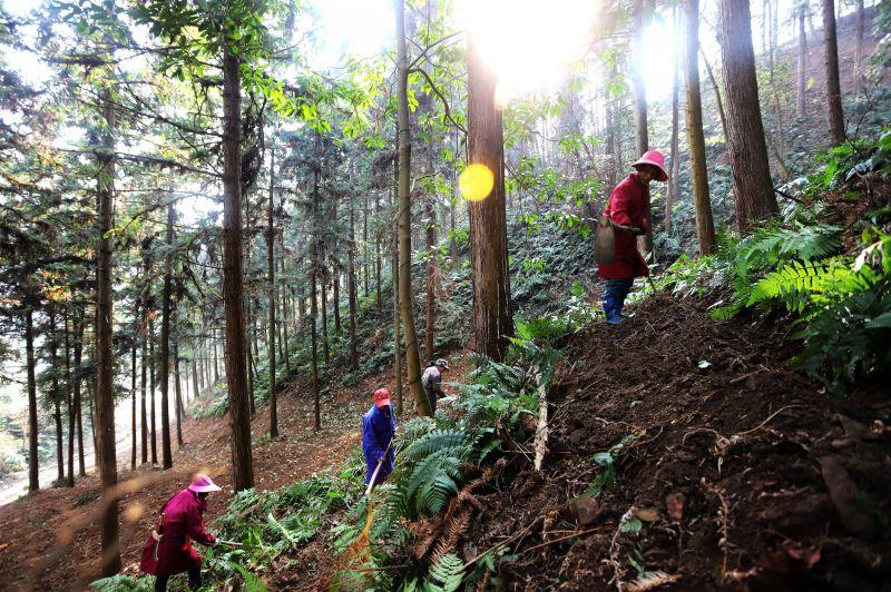 2.安福县明月山林场培育的大径材杉木林基地。