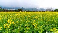景德镇市油菜花期比往年提早 3月上中旬将进入盛花期