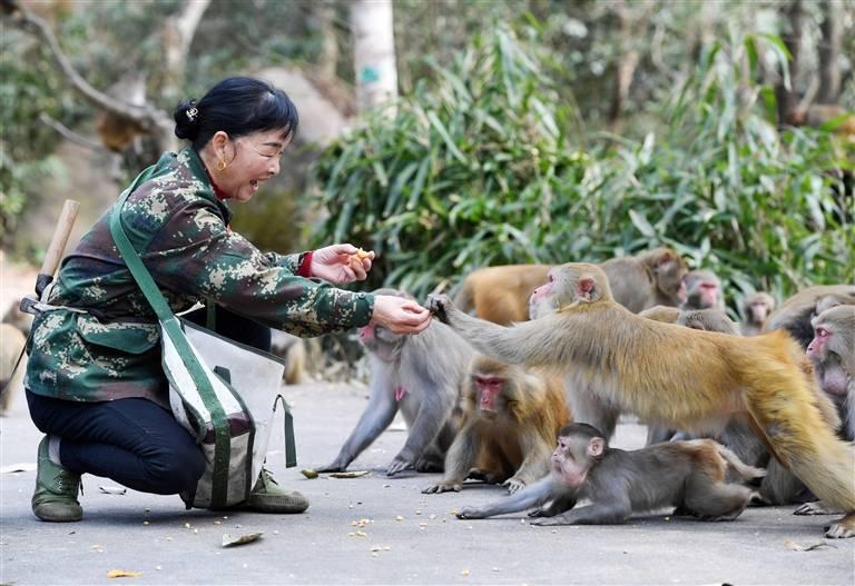 2月3日,吴珍华在给野生猕猴喂食。
