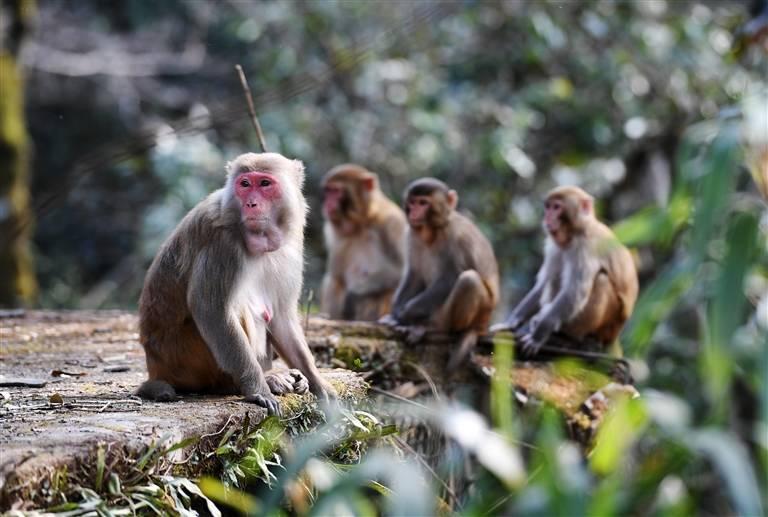 每年11月份至来年春季,由于山中食物稀少,山上的猕猴都会下山来觅食。