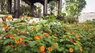 萍乡:绿意辞春去五色迎夏来 鳌洲公园试种五色梅成效初显