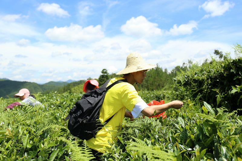 """图8:""""江小科""""调研服务团在品香园茶园开展调研,了解当地白茶文化"""
