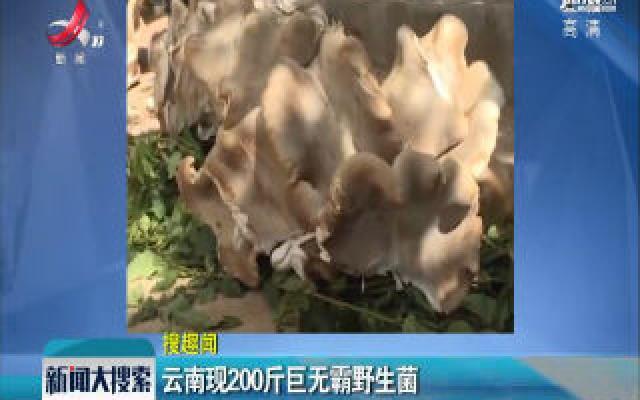 云南现200斤巨无霸野生菌