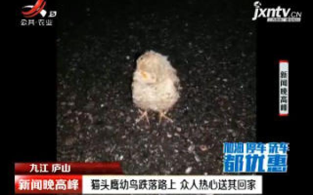 九江庐山:猫头鹰幼鸟跌落路上 众人热心送其回家