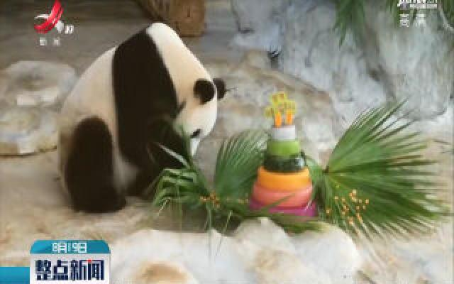 海南:大熊猫贡贡、舜舜过首次热带生日会