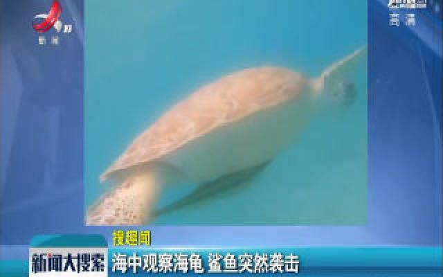 美国:海中观察海龟 鲨鱼突然袭击
