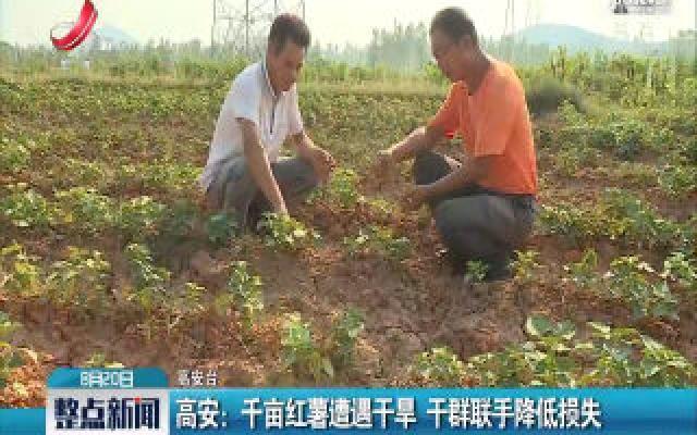 高安:千亩红薯遭遇干旱 干群联手降低损失
