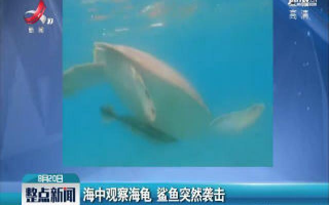 海中观察海龟 鲨鱼突然袭击