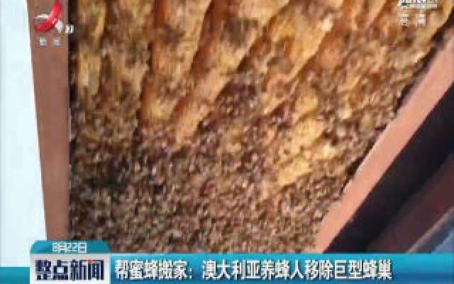 帮蜜蜂搬家:澳大利亚养蜂人移除巨型蜂巢