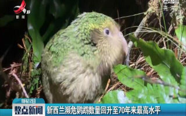 新西兰濒危鹦鹉数量回升至70年来最高水平