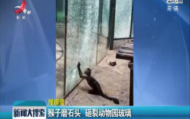 河南郑州:猴子磨石头 砸裂动物园玻璃