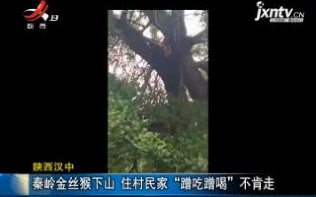 """陕西汉中:秦岭金丝猴下山 住村民家""""蹭吃蹭喝""""不肯走"""