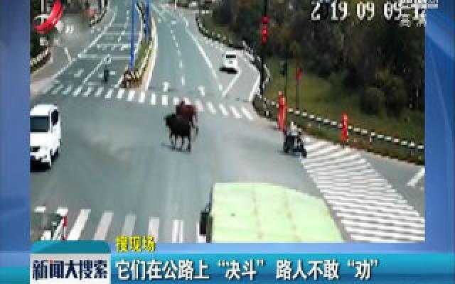"""浙江:它们在公路上""""决斗""""  路人不敢""""劝"""""""