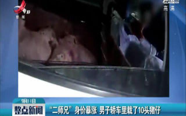 """湖北:""""二师兄""""身价暴涨 男子轿车里载了10头猪仔"""
